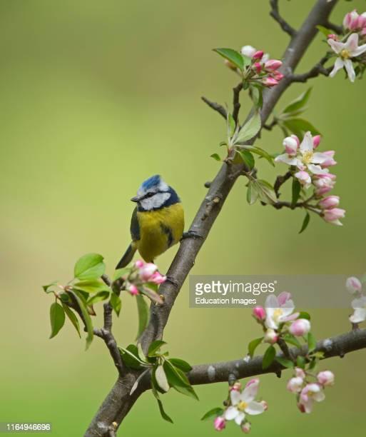 Blue Tit Cyanistes caeruleus among apple blossom in garden Norfolk spring