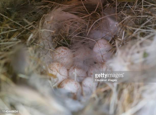 Blue Tit, Cyanistes caeruleus, nest and eggs in nest box Norfolk.