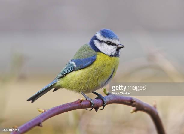 Blue Tit [Cyanistes caeruleus]