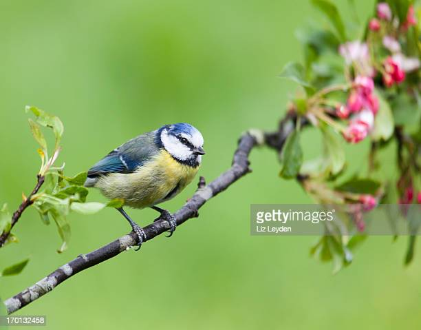 blue tit, cyanistes/parus caeruleus perched on branch with apple blossom - bluetit stock photos and pictures