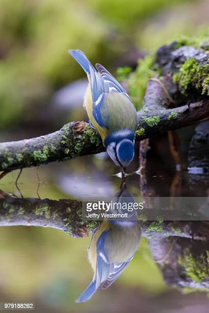 blue tit (cyanistes caeruleus) drinking water - bluetit stock photos and pictures
