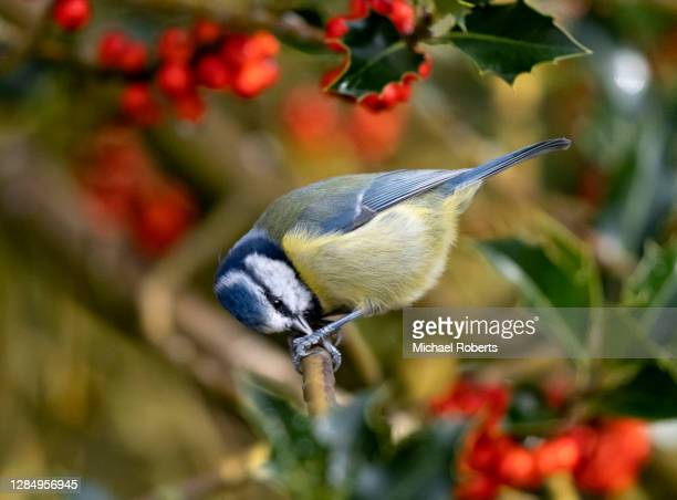 blue tit (cyanistes caeruleus) feeding in holly tree - michael holly stock pictures, royalty-free photos & images
