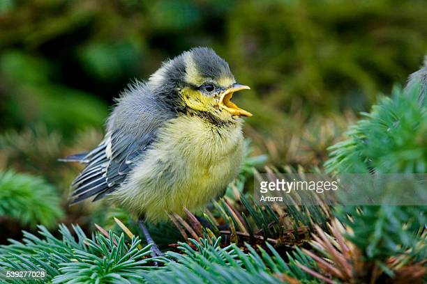 Blue tit fledgling chirping in tree