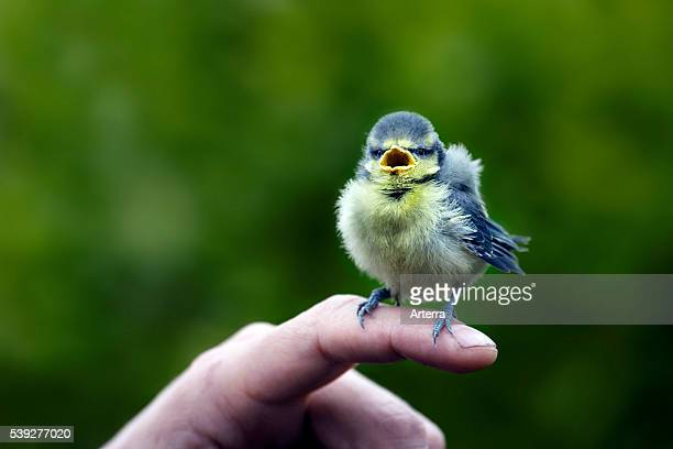 Blue tit fledgling on finger