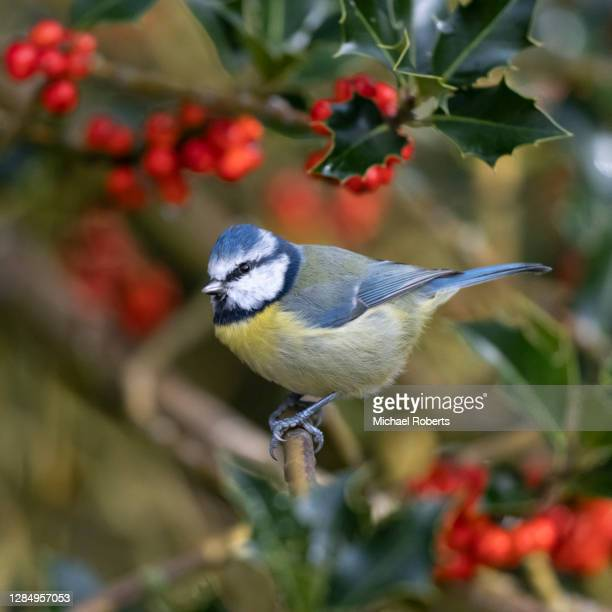 blue tit (cyanistes caeruleus) in holly tree - michael holly stock pictures, royalty-free photos & images
