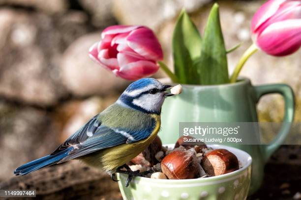 Blue Tit In Spring Mood