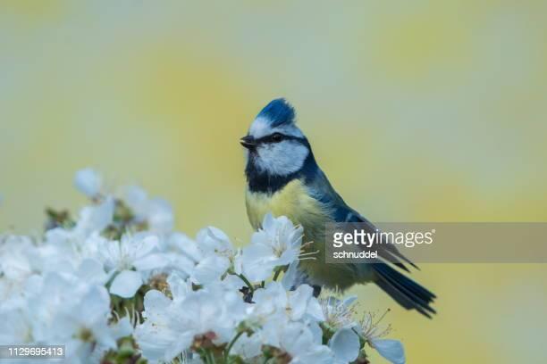 春の青シジュウカラ - niedlich ストックフォトと画像