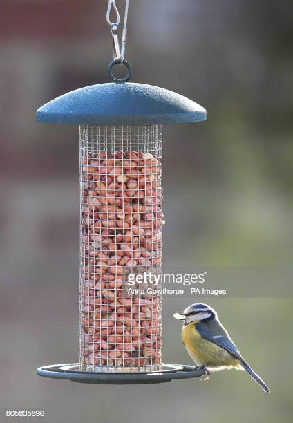 A blue tit on a bird feeder in a garden in York ahead of this weekend's RSPB Big Garden Birdwatch The annual survey encourages people to watch the...