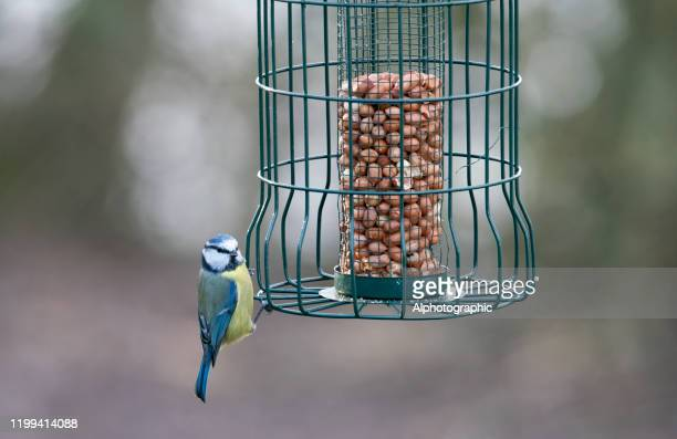 2019 blue tit on a bird feeder - cage stock pictures, royalty-free photos & images