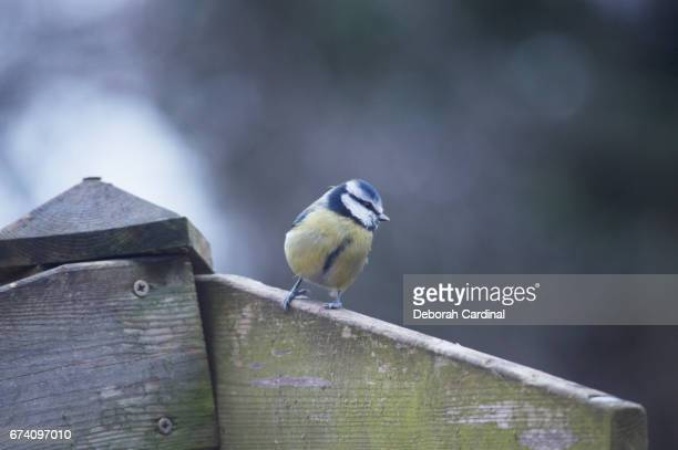 blue tit on a fence - blue cardinal bird stock pictures, royalty-free photos & images