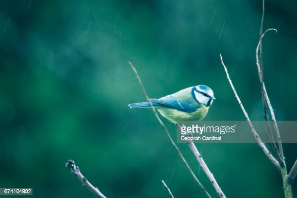 blue tit on a rainy day - blue cardinal bird stock pictures, royalty-free photos & images