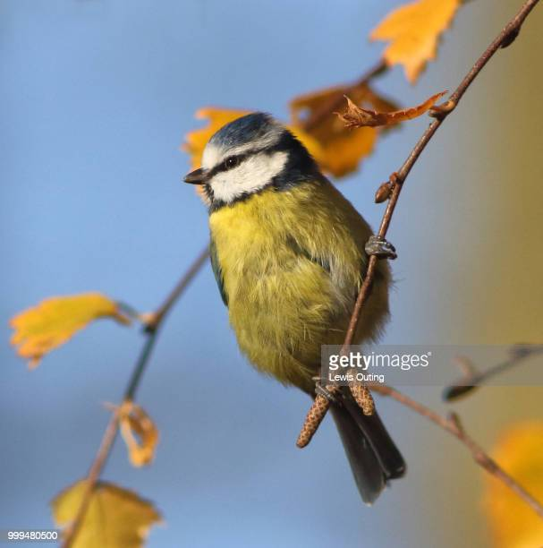 blue tit on small branch - bluetit stock photos and pictures