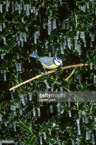 blue tit, parus caeruleus, in icicles - michael holly stock pictures, royalty-free photos & images