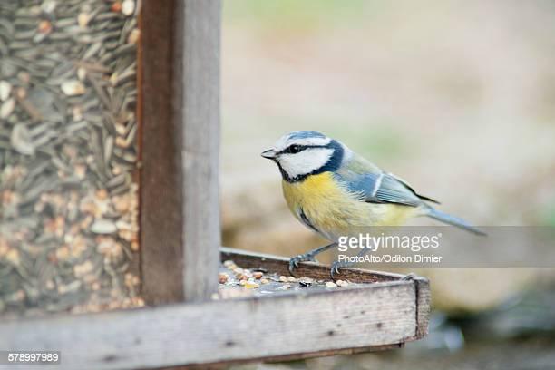 Blue tit (Cyanistes caeruleus) perched on bird feeder
