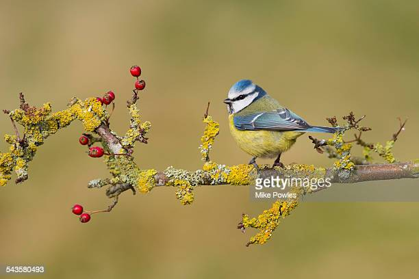 Blue Tit perched on hawthorn branch