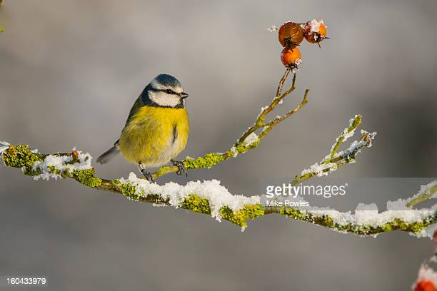 Blue tit perched on snowy branch with rosehips
