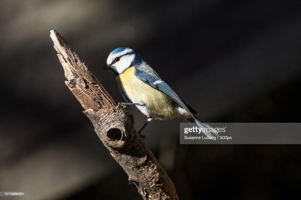 blue tit : Foto de stock