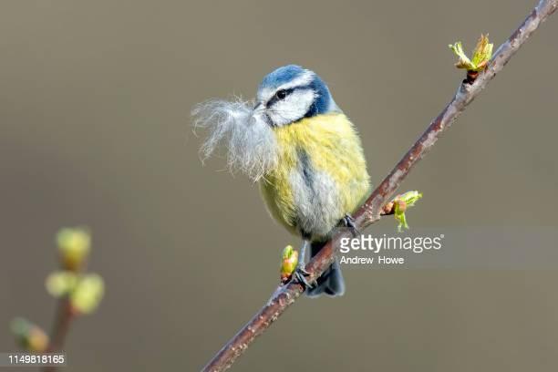 blue tit (cyanistes caeruleus) - bird's nest stock pictures, royalty-free photos & images