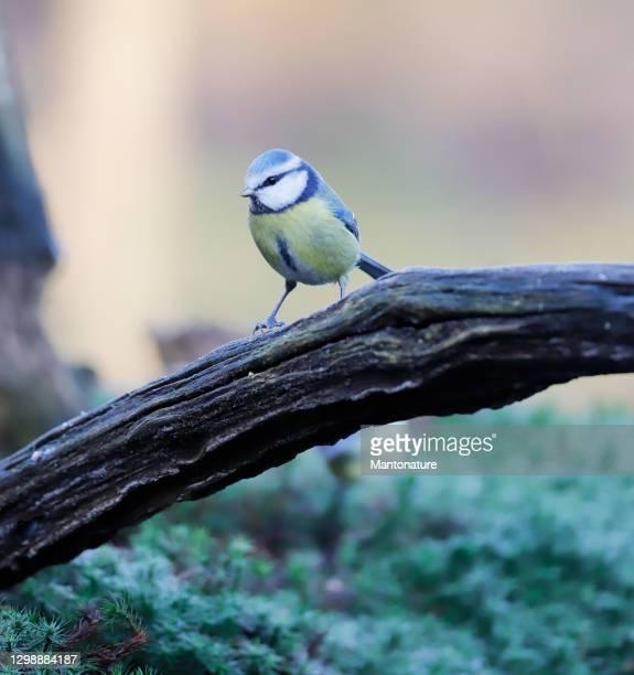 blue tit (cyanistes caeruleus) - drenthe stock pictures, royalty-free photos & images