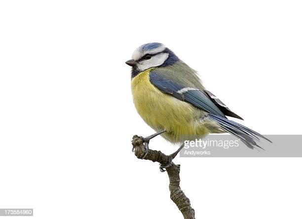 Blue Meise (Parus Caeruleus)