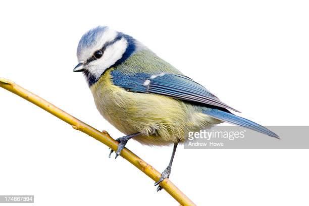 blue tit (cyanistes caeruleus) - zangvogel stockfoto's en -beelden