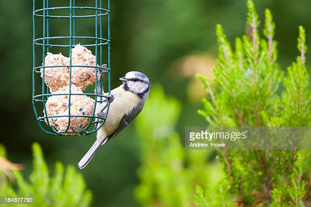 blue tit (cyanistes caeruleus) - sphere stock pictures, royalty-free photos & images