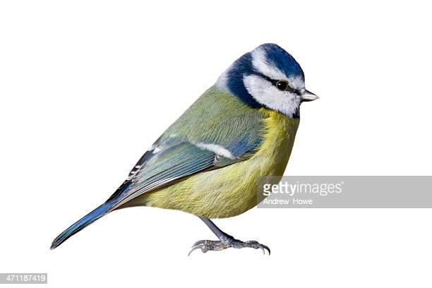 blue tit (cyanistes caeruleus) - bird stock photos and pictures