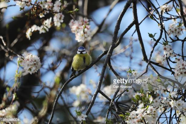 Blue Tit sits in blossom in Brockwell Park on March 19 2018 in London England Recent freezing weather has made feeding difficult for many of our...
