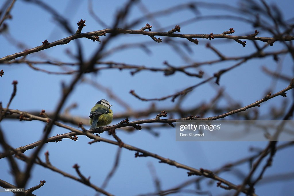 A Blue Tit sits in the trees in St James's Park on March 1, 2012 in London, England. After a recent cold snap Britain is expected to see a short period of unseasonably mild weather following one of the driest February's on record according to the Met Office.