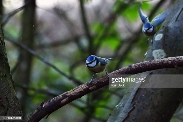 Blue tit sits on a branch as another flies to join it at the RSPB's Loch Leven nature reserve, on December 2, 2020 in Kinross, Scotland.