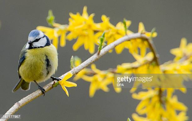 A blue Tit sits on a flowering forsythia branch on April 22 2013 in Hannover Germany AFP PHOTO / JULIAN STRATENSCHULTE /GERMANY OUT