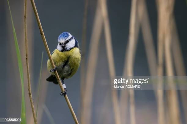 blue tit, sonian forest - capital region stock pictures, royalty-free photos & images