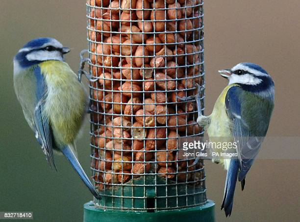 Blue tits feeding in a country garden in North Yorkshire ahead of the RSPB's Big Garden Birdwatch which takes place throughout the UK this weekend