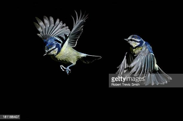 blue tits in flight. - bluetit stock photos and pictures