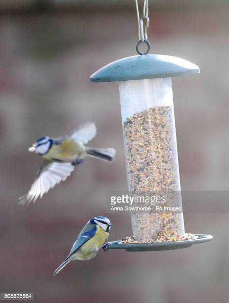 Blue tits on a bird feeder in a garden in York ahead of this weekend's RSPB Big Garden Birdwatch The annual survey encourages people to watch the...