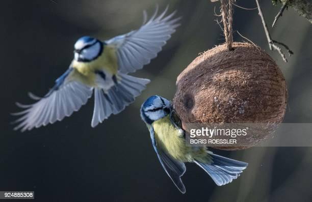 Blue tits pick food from a coconut shell serving as a bird feeder in Moerfelden western Germany where temperatures were around minus eight degrees...