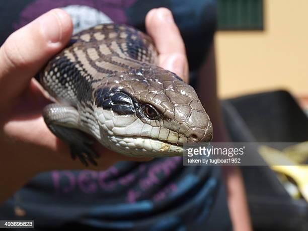 Blue tongue lizard being held