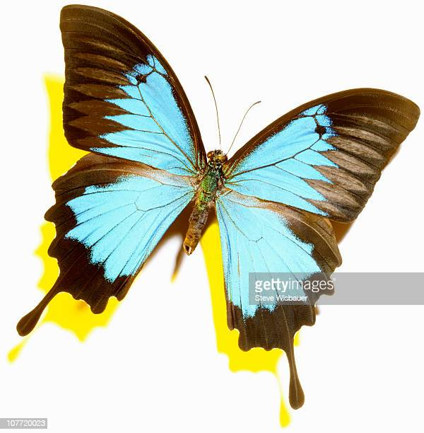 a blue ulysses butterfly with a yellow shadow - ulysses butterfly stock pictures, royalty-free photos & images