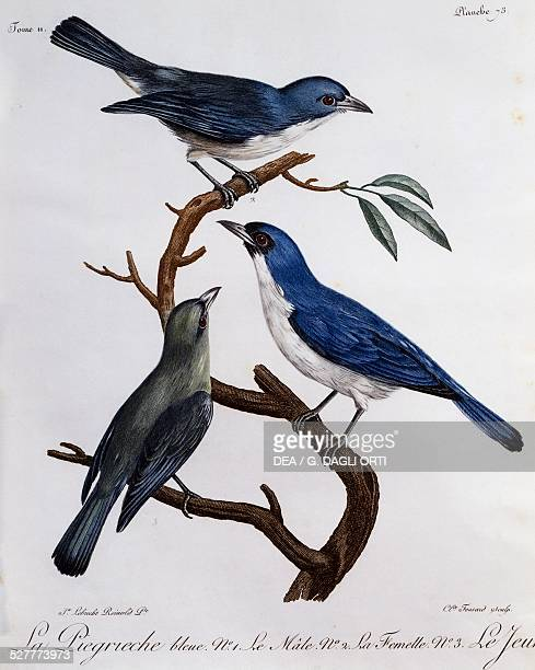 Blue Vanga engraving from the Histoire Naturelle des Oiseaux d'Afrique 17991802 by Francois Le Vaillant after drawing by Reinhold Lebrecht France...