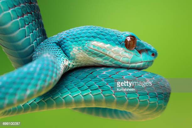 Blue viper snake, Indonesia