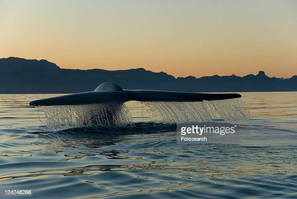 Blue whale (Balaenoptera musculus). A blue whale tail as it leaves the water prior to diving. Gulf of California.