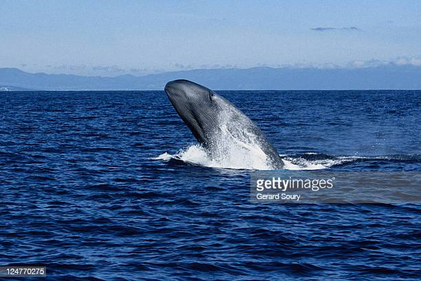 blue whale, balaenoptera musculus, breaching, pico is, azores, portugal - blue whale stock pictures, royalty-free photos & images
