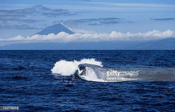 blue whale, balaenoptera musculus, porpoising, pico is, azores, portugal - blue whale foto e immagini stock