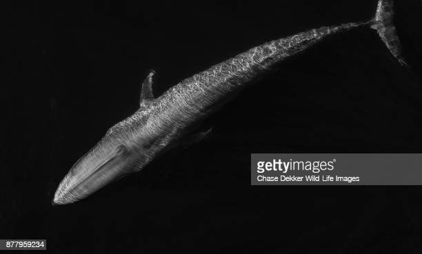 blue whale black & white - blue whale stock pictures, royalty-free photos & images