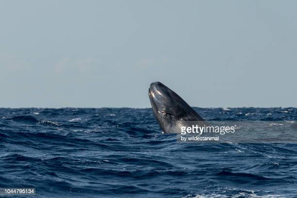 blue whale calf breaching. - blue whale stock pictures, royalty-free photos & images