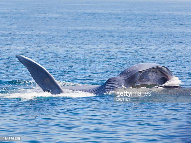 blue whale feeding - blue whale stock pictures, royalty-free photos & images