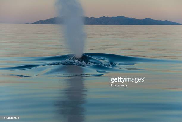 blue whale (balaenoptera musculus). in the early light and silky sea a gentle blue whale barely makes a ripple. gulf of california. - blue whale foto e immagini stock