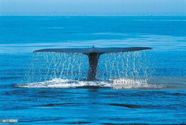blue whale (balaenoptera musculus) mexico - blue whale stock pictures, royalty-free photos & images