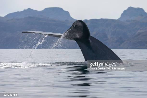 blue whale - baleia azul imagens e fotografias de stock