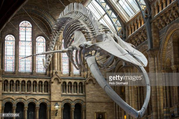 blue whale skeleton replaces dippy the diplodocus at the natural